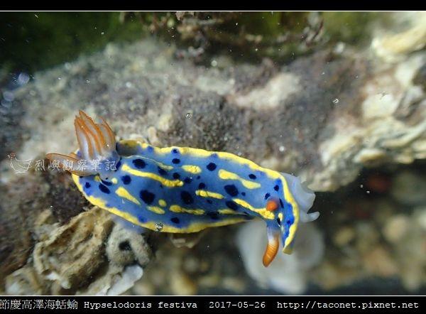 節慶高澤海蛞蝓 Hypselodoris festiva_07.jpg