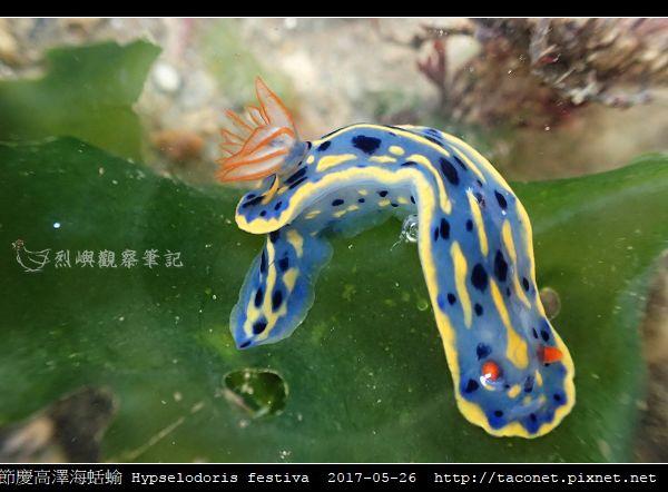 節慶高澤海蛞蝓 Hypselodoris festiva_11.jpg