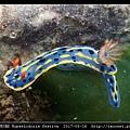 節慶高澤海蛞蝓 Hypselodoris festiva_13.jpg
