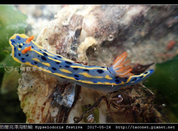 節慶高澤海蛞蝓 Hypselodoris festiva_14.jpg
