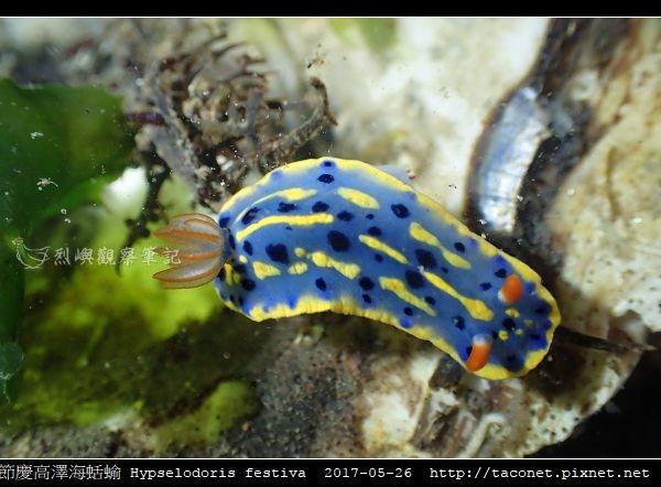 節慶高澤海蛞蝓 Hypselodoris festiva_15.jpg