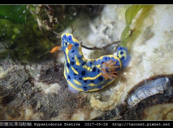 節慶高澤海蛞蝓 Hypselodoris festiva_17.jpg
