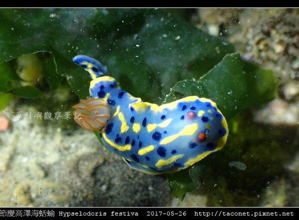 節慶高澤海蛞蝓 Hypselodoris festiva_18.jpg