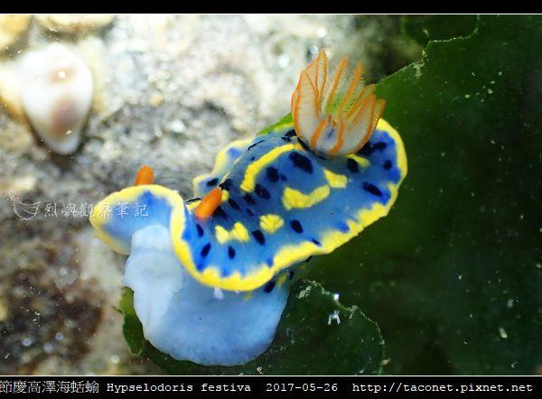 節慶高澤海蛞蝓 Hypselodoris festiva_19.jpg