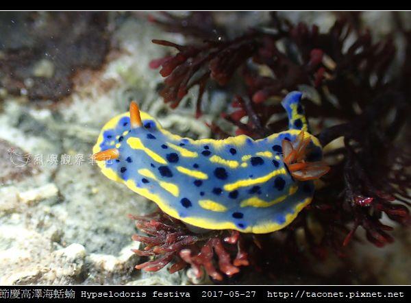 節慶高澤海蛞蝓 Hypselodoris festiva_21.jpg