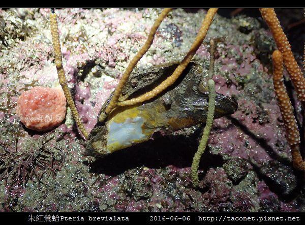 朱紅鶯蛤 Pteria brevialata_2.jpg