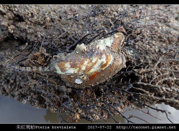 朱紅鶯蛤 Pteria brevialata_5.jpg