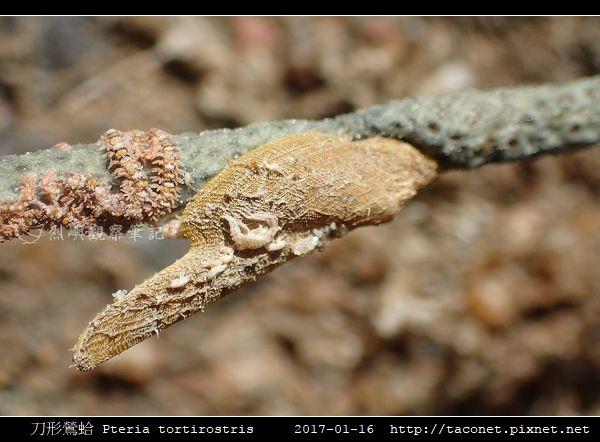 刀形鶯蛤 Pteria tortirostris_3.jpg