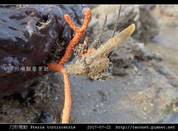 刀形鶯蛤 Pteria tortirostris_4.jpg