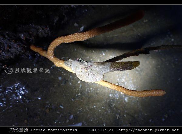 刀形鶯蛤 Pteria tortirostris_6.jpg