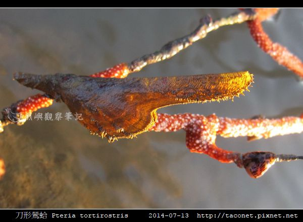 刀形鶯蛤 Pteria tortirostris_8.jpg