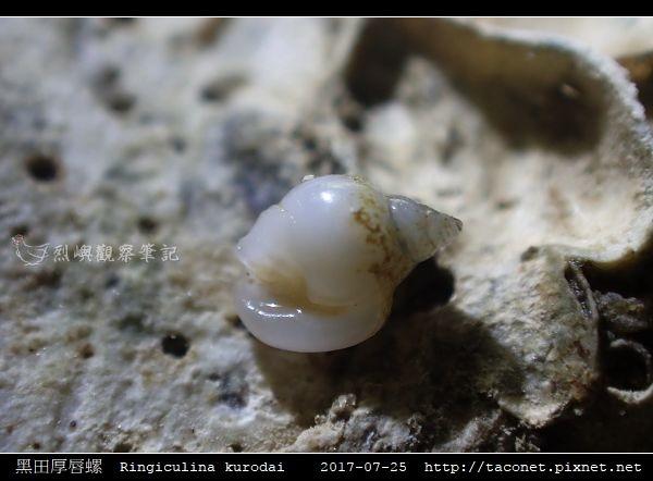 黑田厚唇螺 Ringiculina kurodai_1.jpg