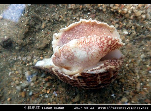 小枇杷螺 Ficus ficus_05.jpg