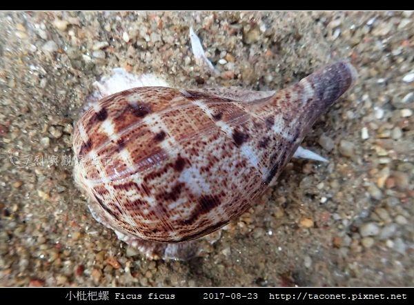 小枇杷螺 Ficus ficus_10.jpg