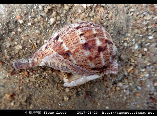 小枇杷螺 Ficus ficus_09.jpg