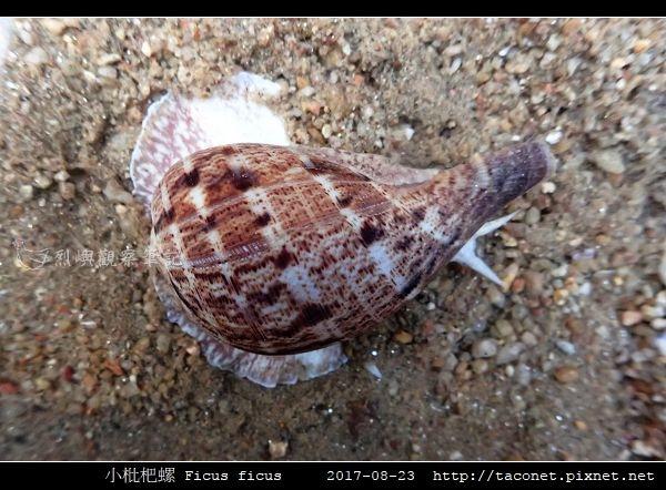 小枇杷螺 Ficus ficus_11.jpg