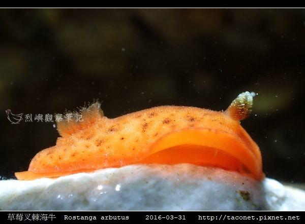 草莓叉棘海牛  Rostanga arbutus_08.jpg