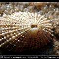 草花透孔螺 Diodora suprapunicea_5.jpg
