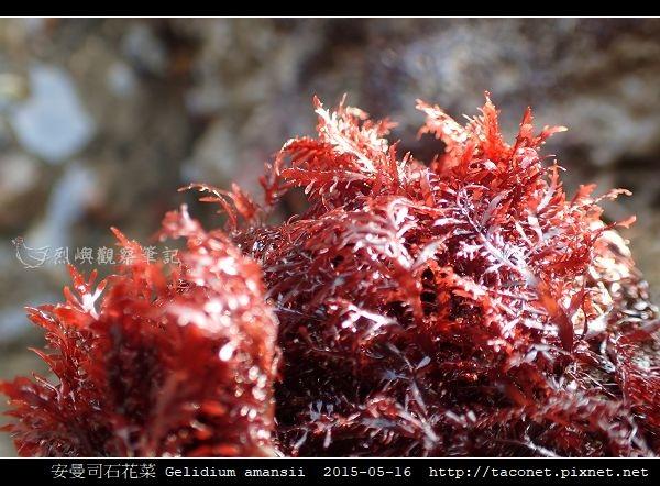 安曼司石花菜 Gelidium amansii_04.jpg