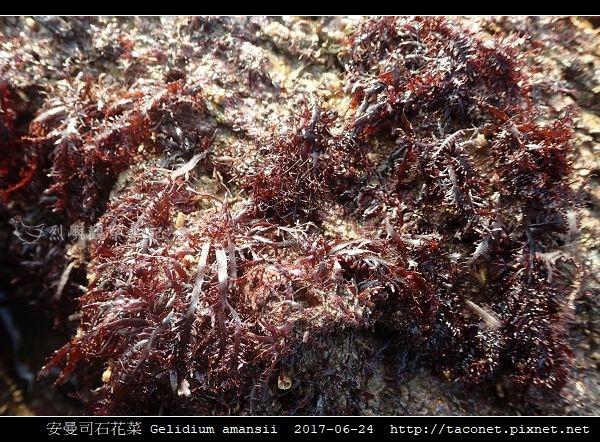 安曼司石花菜 Gelidium amansii_07.jpg