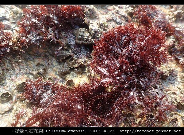 安曼司石花菜 Gelidium amansii_08.jpg