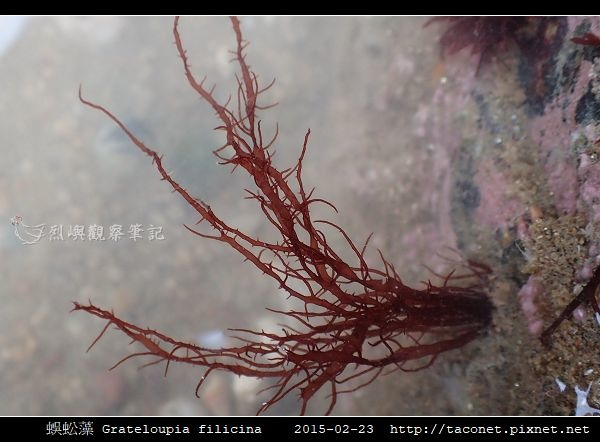 蜈蚣藻 Grateloupia filicina_02.jpg