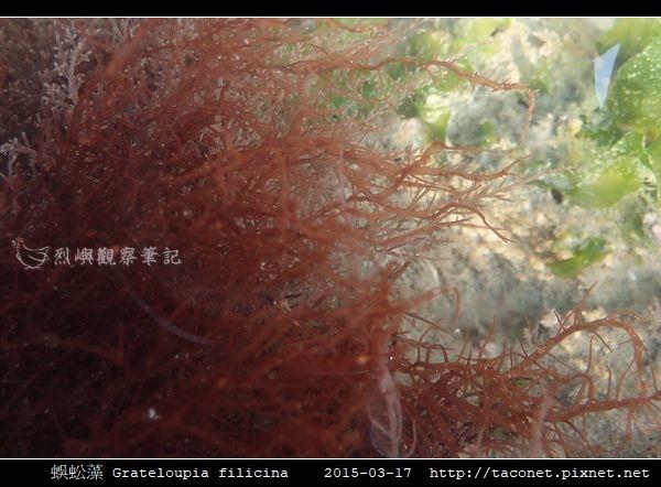 蜈蚣藻 Grateloupia filicina_07.jpg