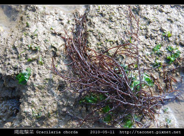 繩龍鬚菜 Gracilaria chorda_1.jpg
