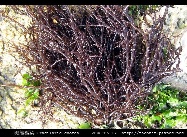繩龍鬚菜 Gracilaria chorda_3.jpg