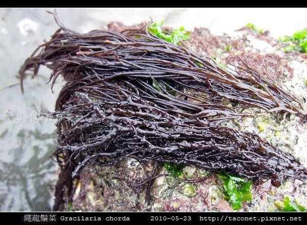 繩龍鬚菜 Gracilaria chorda_4.jpg