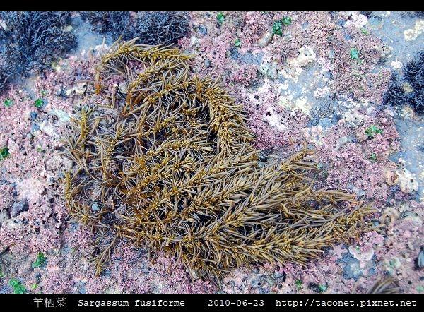 羊栖菜  Sargassum fusiforme_1.jpg