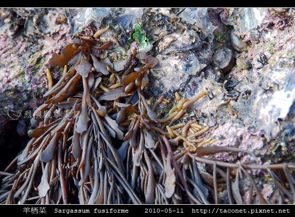 羊栖菜  Sargassum fusiforme_4.jpg