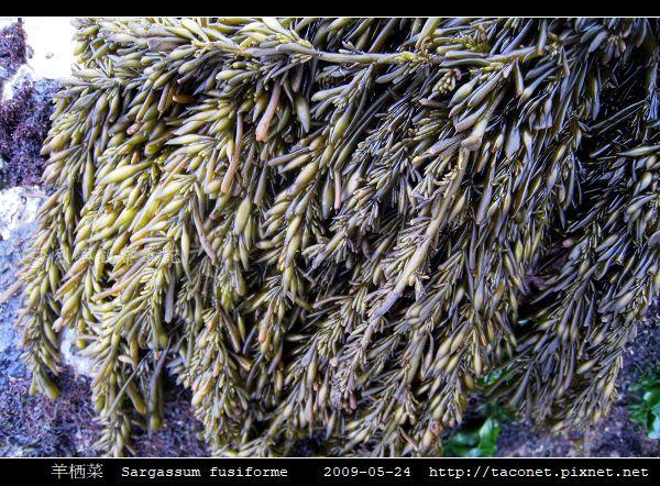 羊栖菜  Sargassum fusiforme_6.jpg