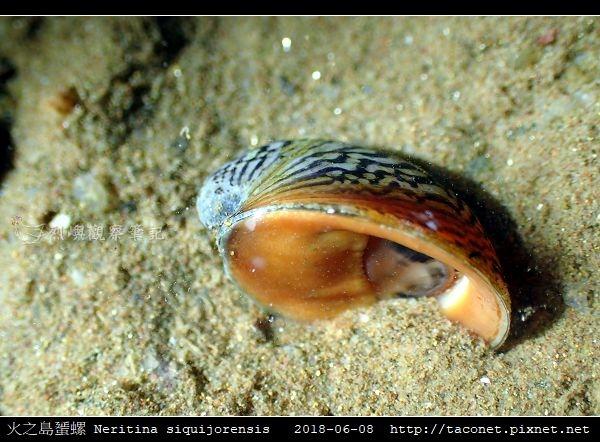 火之島蜑螺 Neritina siquijorensis_2.jpg