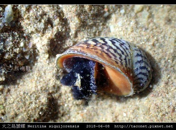 火之島蜑螺 Neritina siquijorensis_4.jpg