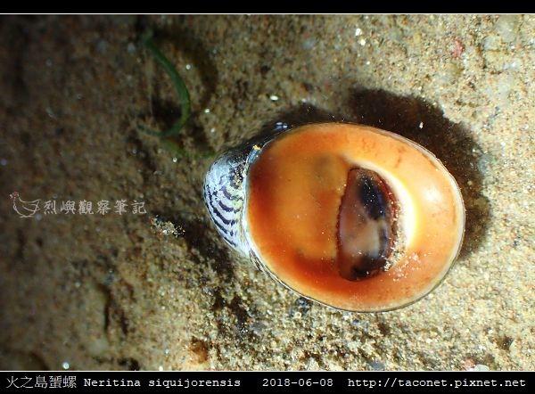 火之島蜑螺 Neritina siquijorensis_3.jpg