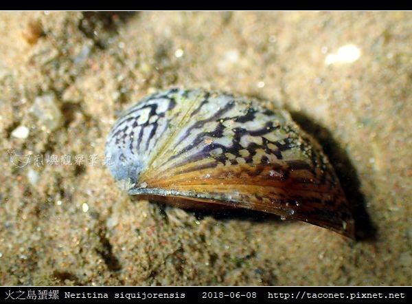 火之島蜑螺 Neritina siquijorensis_7.jpg
