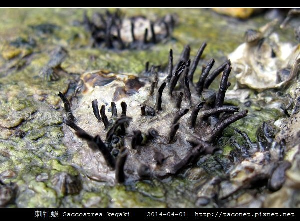 刺牡蠣 Saccostrea kegaki_6.jpg