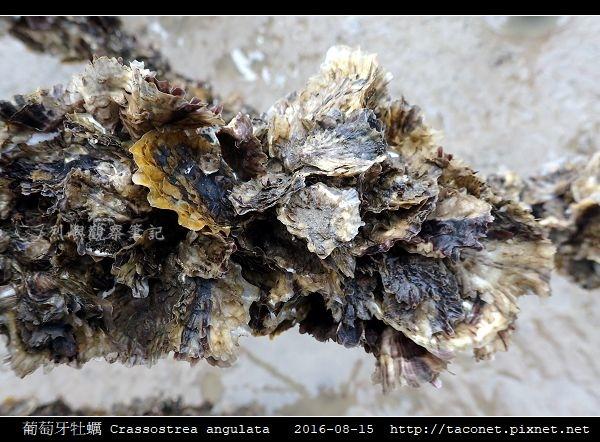 葡萄牙牡蠣 Crassostrea angulata_11.jpg