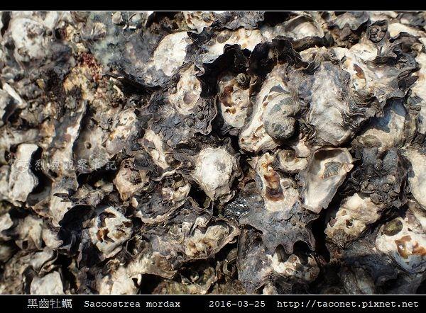 黑齒牡蠣 Saccostrea mordax_3.jpg
