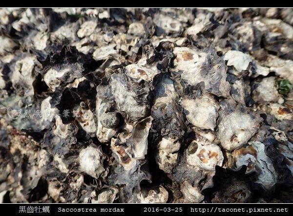 黑齒牡蠣 Saccostrea mordax_5.jpg