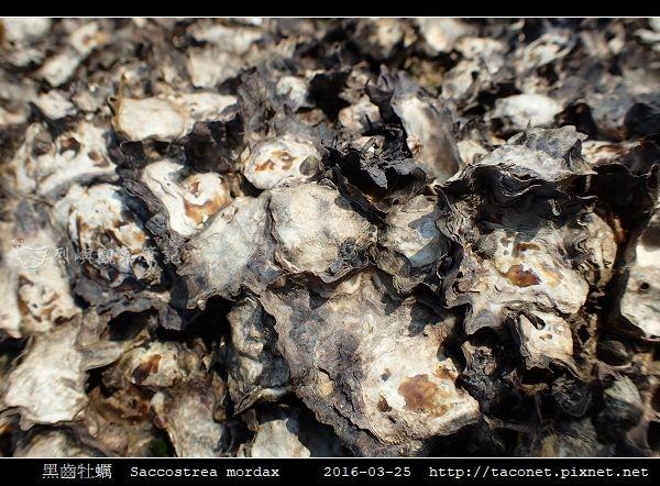 黑齒牡蠣 Saccostrea mordax_6.jpg