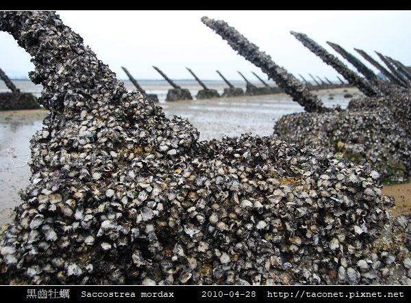 黑齒牡蠣 Saccostrea mordax_8.jpg