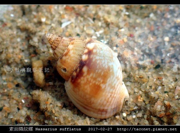 素面織紋螺 Nassarius sufflatus_01.jpg