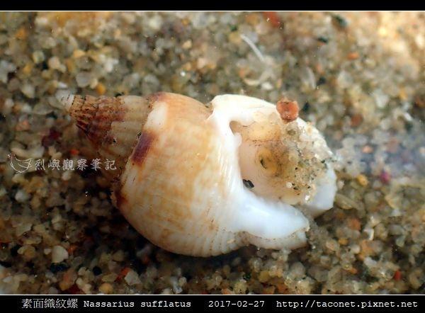 素面織紋螺 Nassarius sufflatus_02.jpg