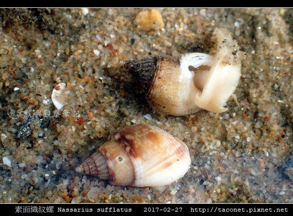 素面織紋螺 Nassarius sufflatus_04.jpg
