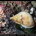 素面織紋螺 Nassarius sufflatus_07.jpg