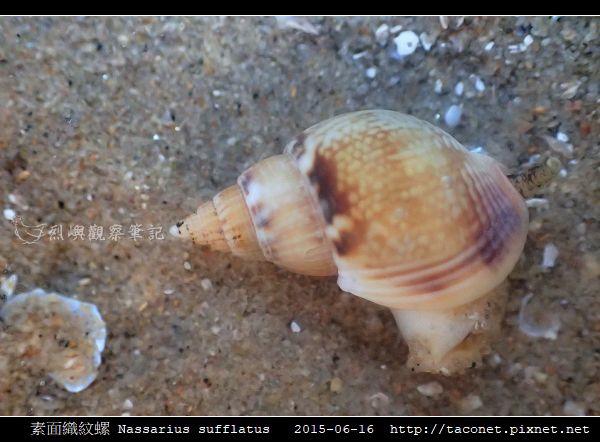 素面織紋螺 Nassarius sufflatus_09.jpg
