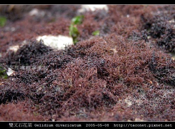 雙叉石花菜 Gelidium divaricatum_3.jpg