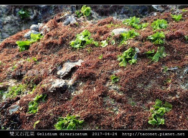 雙叉石花菜 Gelidium divaricatum_6.jpg